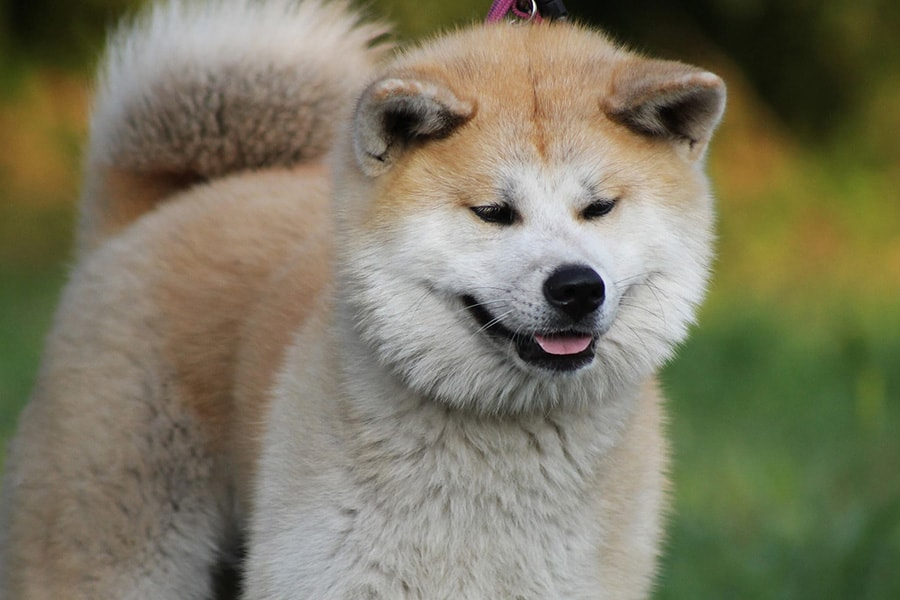 Ιαπωνικό Ακίτα (Akita Inu) - Μίλα στο Σκύλο σου - Ράτσες