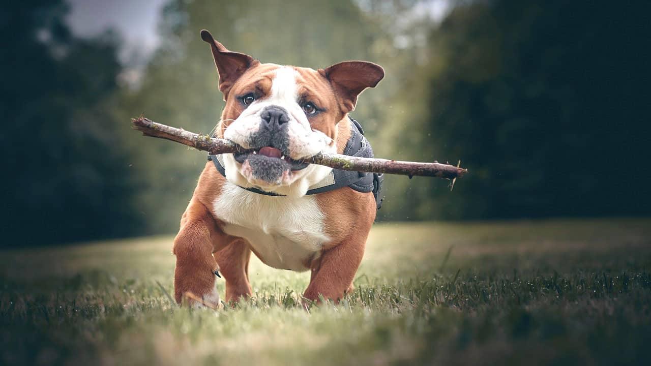 Αγγλικό Μπουλντόγκ (English Bulldog) - Ράτσες Σκύλων - Μίλα στο Σκύλο σου