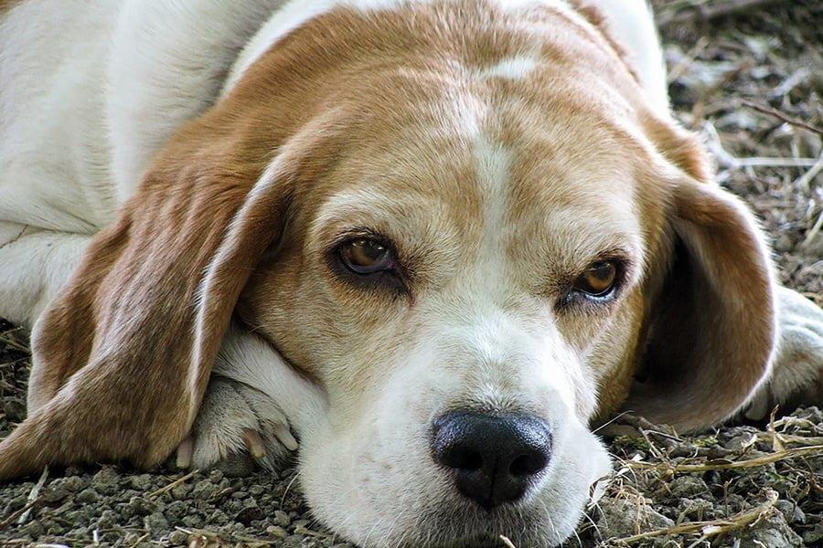 Το Αλτσχάιμερ των Σκύλων - Μίλα στο Σκύλο σου - Υγεία