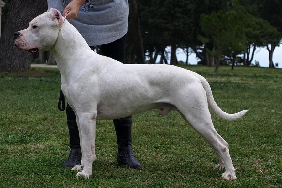 Αργεντίνικος Μολοσσός - Dogo Argentino - Μίλα στο Σκύλο σου - Ράτσες