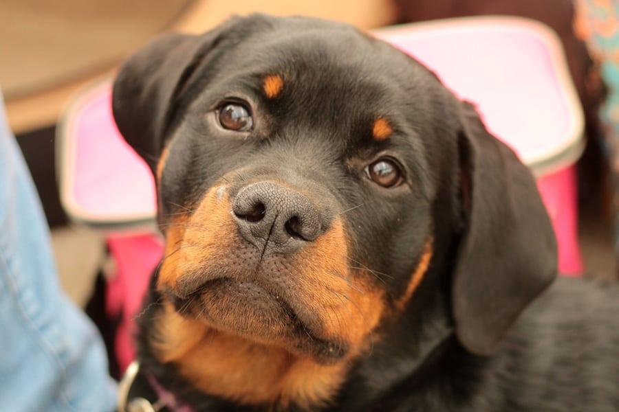 Ροτβάιλερ (Rottweiler) - Μίλα στο Σκύλο σου - Ράτσες