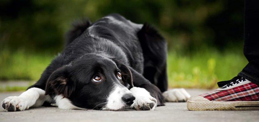 Η γλώσσα του σώματος των σκύλων - Ψυχολογία σκύλων - Μίλα στο Σκύλο σου