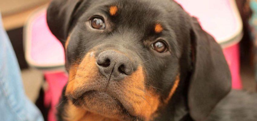 Ένα χωριό γεμάτο ροτβάιλερ - Μίλα στο Σκύλο σου - Επικαιρότητα