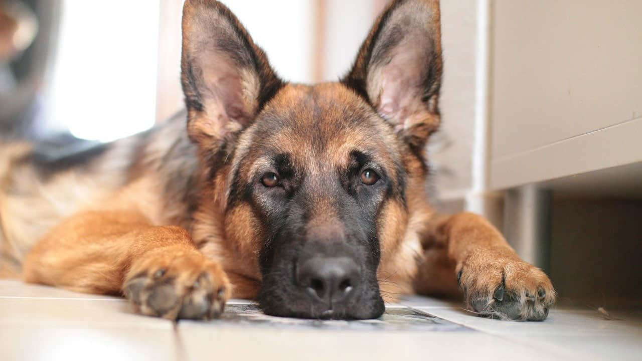 Γερμανικός Ποιμενικός (German Shepherd) - Μίλα στο Σκύλο σου - Ράτσες
