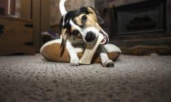Γιατί μασάνε οι σκύλοι;