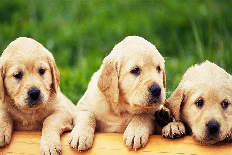Λαμπραντόρ (Labrador Retriever) - Μίλα στο Σκύλο σου - Ράτσες