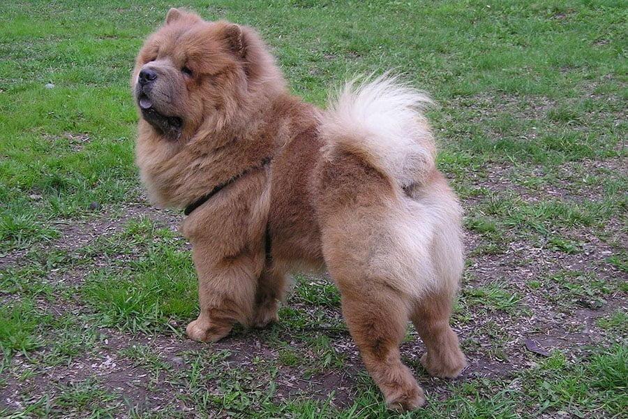 Τσόου τσόου (chow chow) - Μίλα στο Σκύλο σου - Ράτσες