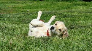 Γιατί οι σκύλοι κυλιούνται στο γρασίδι;