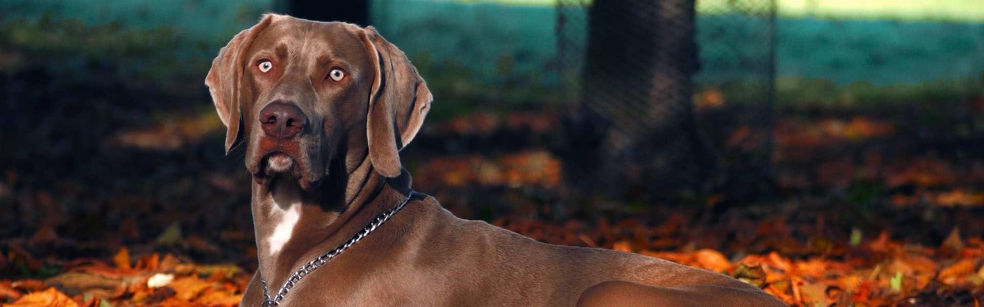 Ράτσες σκύλων - Άρθρα